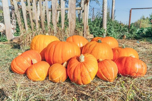 Natural autumn fall view pumpkin on eco farm background