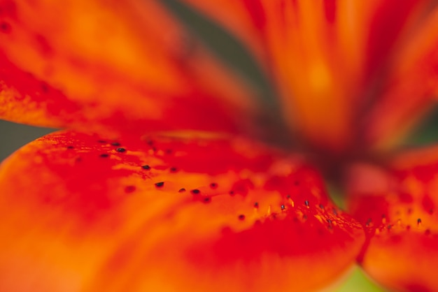 Natural background of beautiful petals of red orange blooming lily in macro