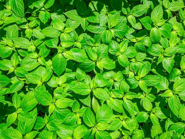 自然な背景。グラフィックデザインや壁紙の美しい新鮮な緑の葉を持つ植物パターン。上面図。