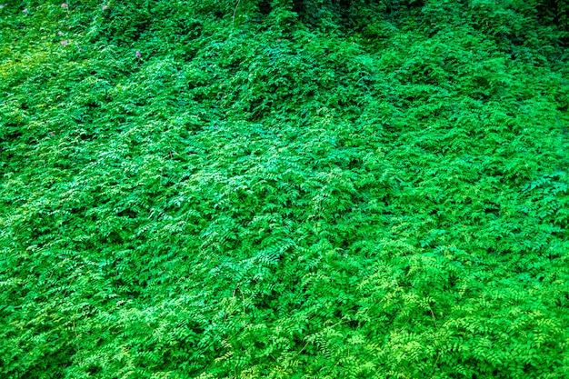 Natural background of the completely green and leafy foliage of a plant wall.