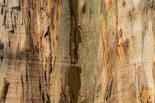 Natural background of eucalyptus gumtree bark. closeup of trunk. tenerife, canary islands