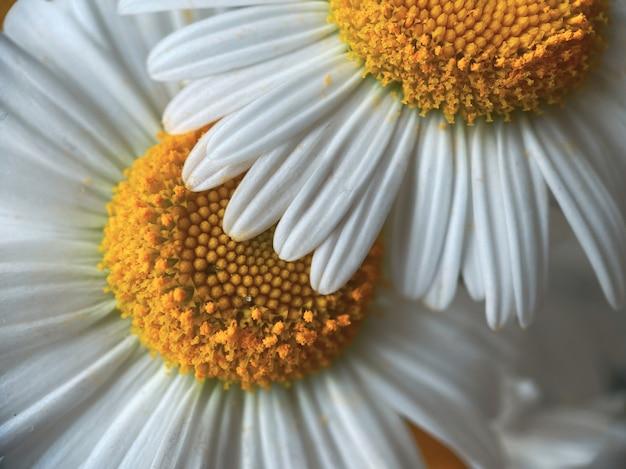 Естественный фон для ваших проектов из цветов белой ромашки. понятие естественной красоты.