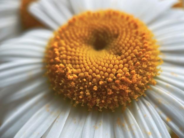흰색 카모마일 꽃에서 프로젝트를 위한 자연 배경. 자연의 아름다움 개념입니다.