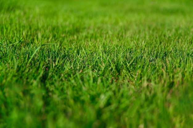 Natural background fresh grass on lawn close up