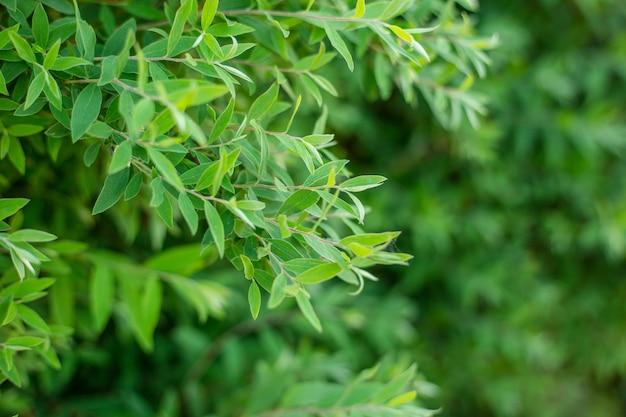 The natural background of fresh green leaves, photo concept nature and plant.
