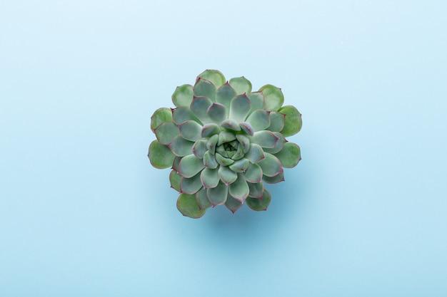 Естественный фон. зеленая эхеверия сочная на синем фоне. вид сверху - изображение