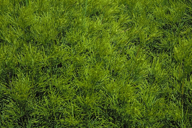 Natural background. green grass. cultivation of ornamental plants for urban landscaping.