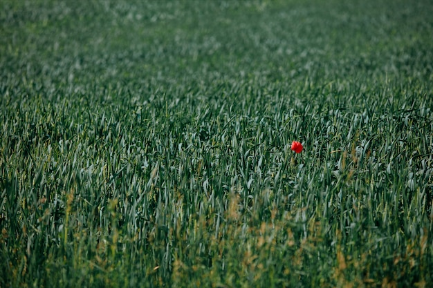 Natural background of green wheat field with one red poppy
