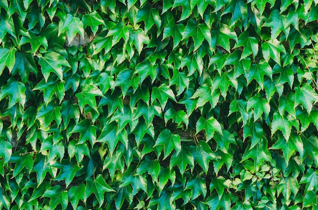 Natural background of ivy leaves