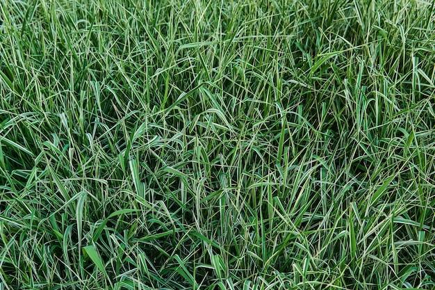 自然な背景-葉に白い縞模様の斑入りクサヨシリボン草の芝生