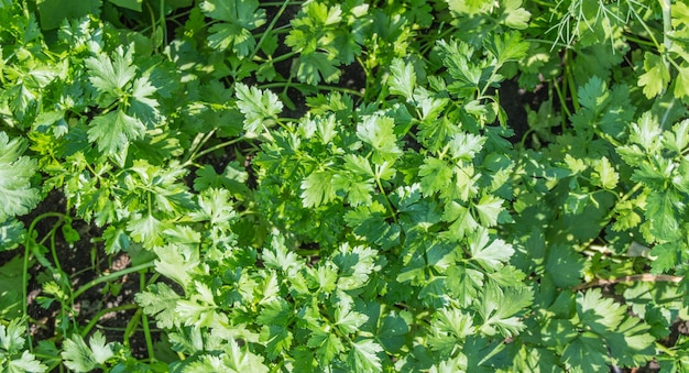 Естественный фон свежей зеленой петрушки, вид сверху.