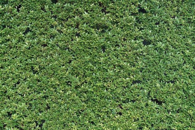 緑の小さな葉の壁の自然な背景。