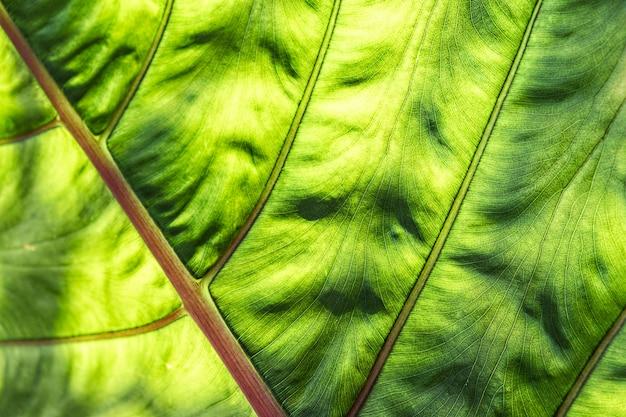 Естественный фон большого зеленого тропического листа