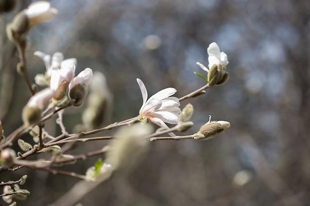 모스크바 공원 봄철에 잎이 없는 목련 꽃 클로즈업의 자연 배경
