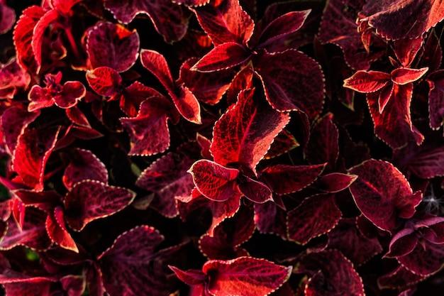 Естественный фон красных растений caleus