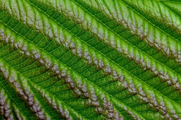 Естественный фон или текстура, зеленый лист малины, крупный план.