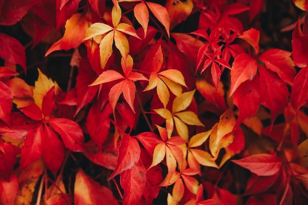 Natural background of red ivy parthenocissus quinquefolia in the autumn