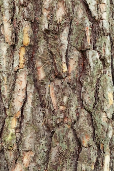 Natural  background texture of tree bark
