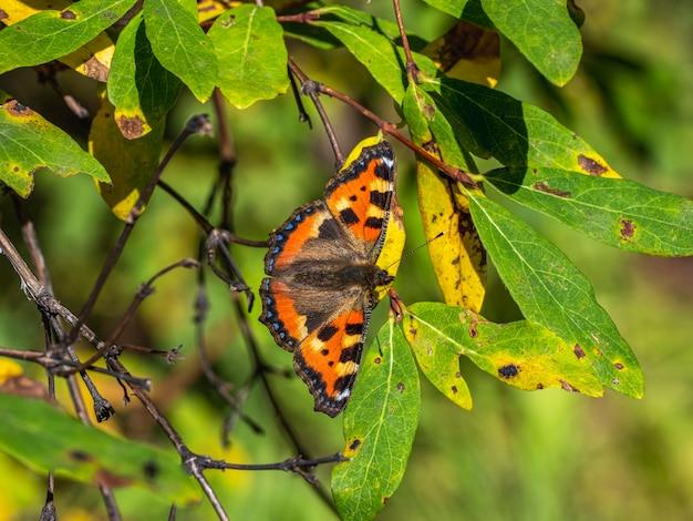 蝶と自然な背景。明るい成虫aglaisurticae、紅葉の小さなべっ甲蝶、クローズアップ。