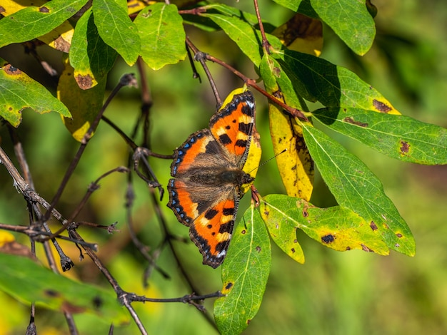 Natural background with a butterfly. bright imago aglais urticae, small tortoiseshell butterfly on a autumn leaves, close up.