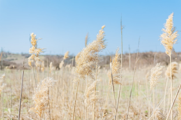 Natural background with natural dry reeds on a sunny day