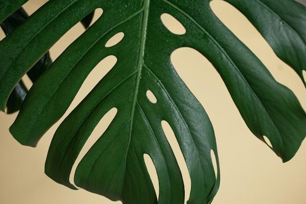 열대 몬스테라 잎이 있는 자연 배경을 닫습니다.