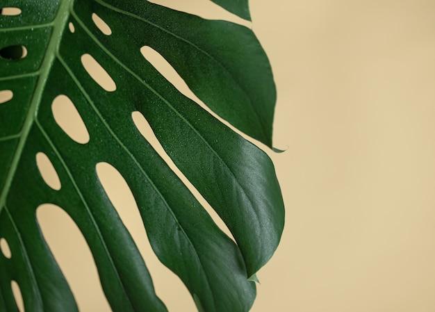 Естественный фон с тропическим концом листа монстера.