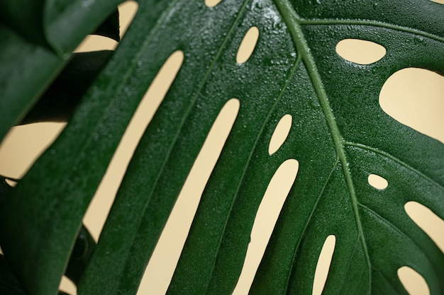 Natural background with tropical monstera leaf close up.