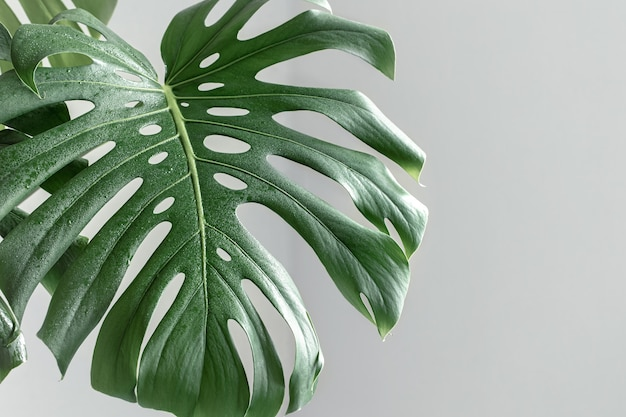 Natural background with tropical monstera leaves in daylight.