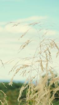 Поле естественного баннера с вертикальной рамкой ушей, снимок селективного фокуса колосьев пшеницы на фоне заката