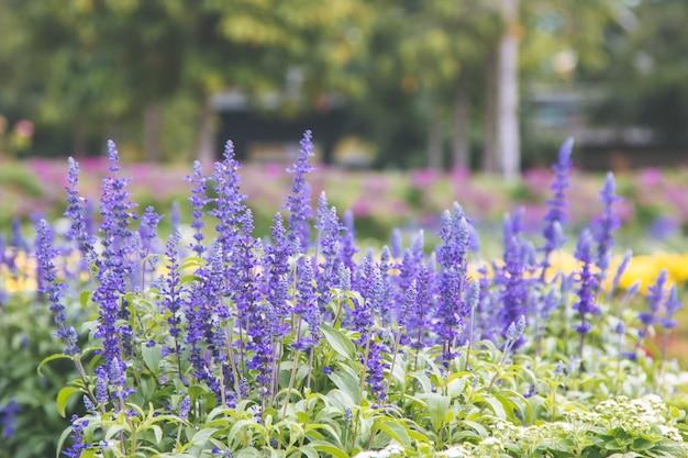 自然の美しいラベンダー、花が咲く。