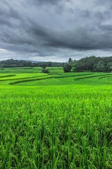 インドネシアの緑の田んぼの自然の美しさ