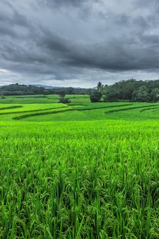 Natural beauty with green rice fields in indonesia