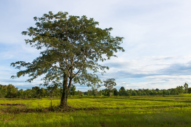 Natural big lonely tree in green paddy rice field