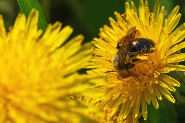 美しい黄色いタンポポと蜂の自然咲く背景。