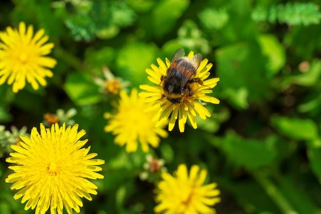 黄色の美しいタンポポとバンブルビーの自然咲く背景。