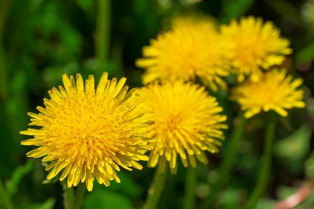 黄色の美しいタンポポの自然咲く背景。