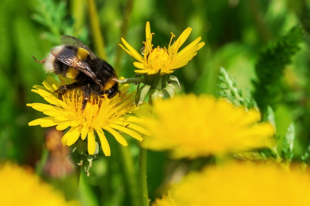 Natural blooming background of yellow beautiful dandelions and bumblebee.