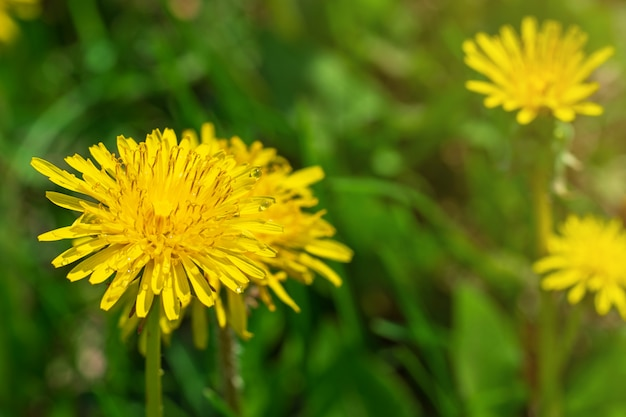 Natural blooming background of yellow beautiful dandelions.
