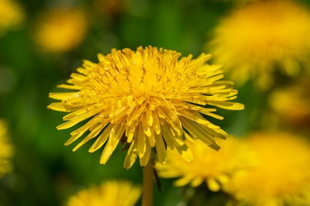 Natural blooming beautiful dandelions.