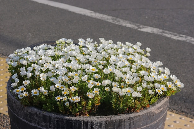 Natural blooming white daisy flowers on the pot near the street.