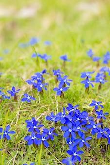 小さな高山の青い花の自然なクッション
