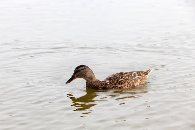 Естественная среда для жизни диких птиц, настоящие живые утки в дикой природе, дикие водоплавающие утки рядом с местом их обитания