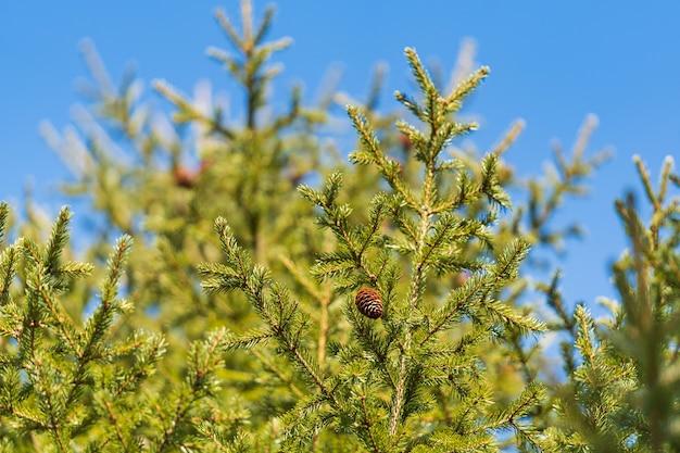 背景の青空晴れた日に松林のクリスマスツリーの円錐形の自然常緑の枝。クリスマス、明けましておめでとうございますの装飾の準備ができているモミの枝。フォアグラウンドでの選択的なソフトフォーカス。