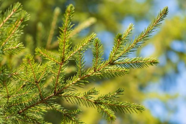 松林のクリスマスツリーの針と自然常緑の枝。クリスマスと新年あけましておめでとうございますのお祝いの装飾の準備ができて、休日の冬の季節のデザインを飾るモミの枝のクローズアップビュー