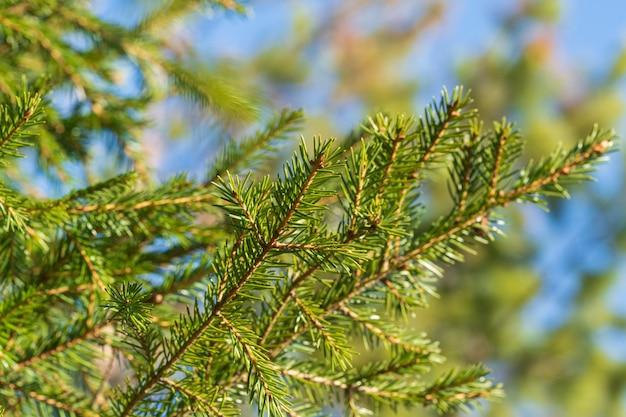 松林のクリスマスツリーの針と自然常緑の枝。明けましておめでとうとクリスマスのお祝いの装飾の準備ができて、休日の冬の季節のデザインを飾るモミの枝の拡大図
