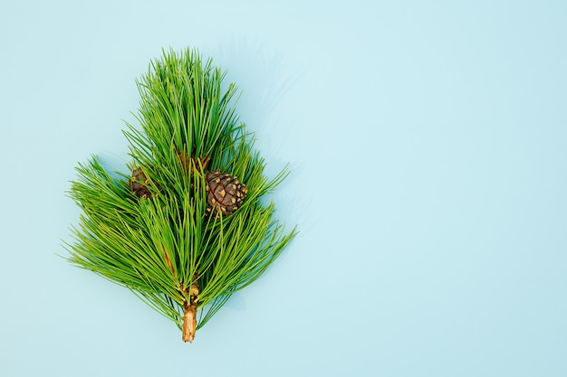 Natural evergreen cedar branche with cones on blue background. copy space top view