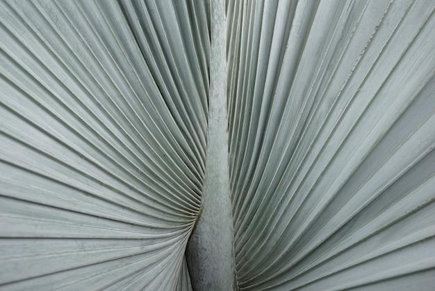 Натуральные веерные пальмовые листья с приглушенным светло-зеленым фоном текстуры bismarckia nobilis сорт