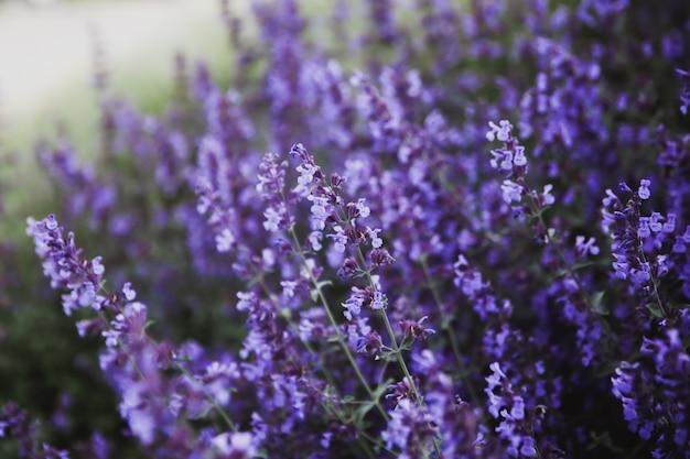 Natural flower background. close -up purple lavender flowers blooming in garden. horizontal arrangement