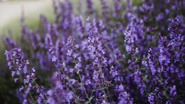 Естественный цветочный фон. крупный план фиолетовые цветы лаванды, цветущие в саду. горизонтальное расположение